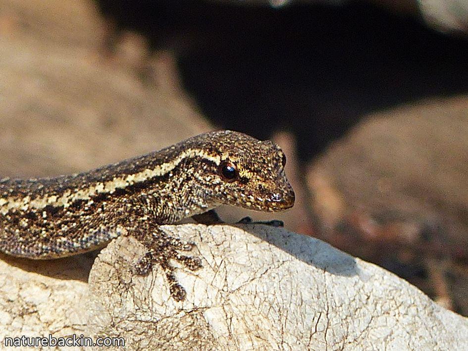 Cape Dwarf Gecko, KwaZulu-Natal