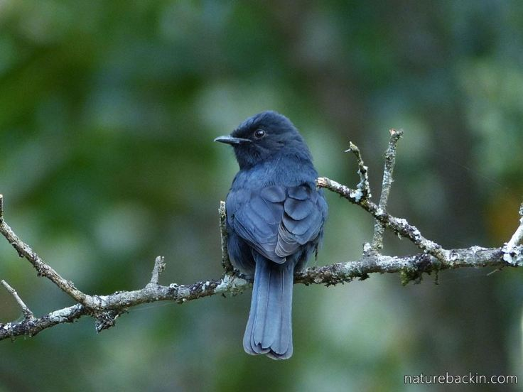 Southern Black Flycatcher 6