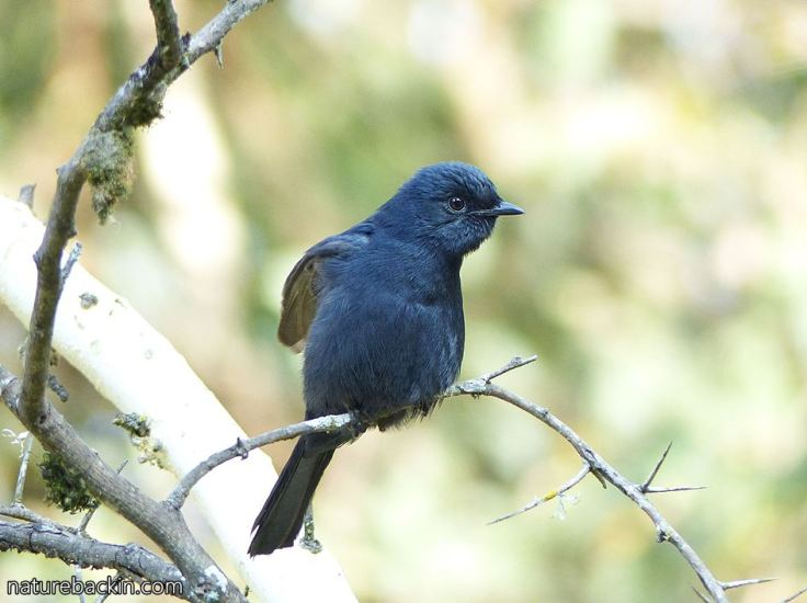 Southern Black Flycatcher 7