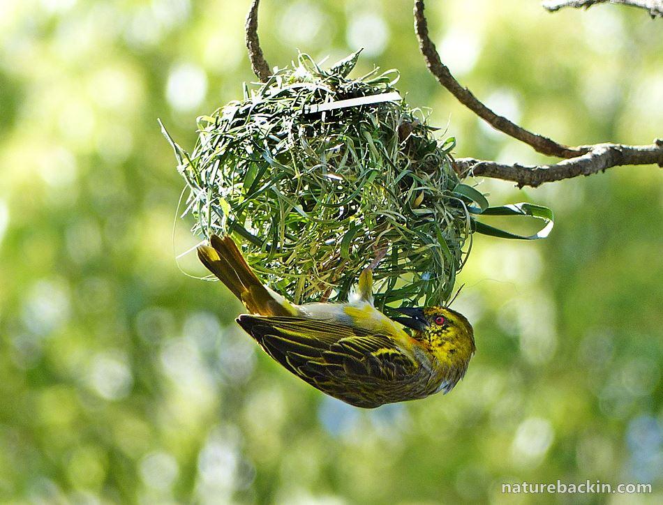 Village Weaver building nest in garden, South Africa