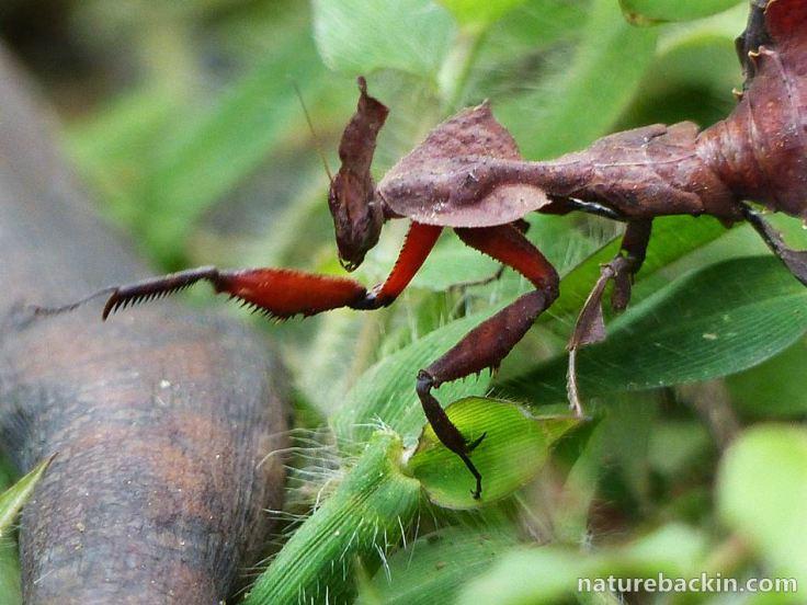 10 Praying Mantis