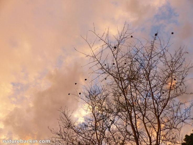 26 Nests weavers tree 5