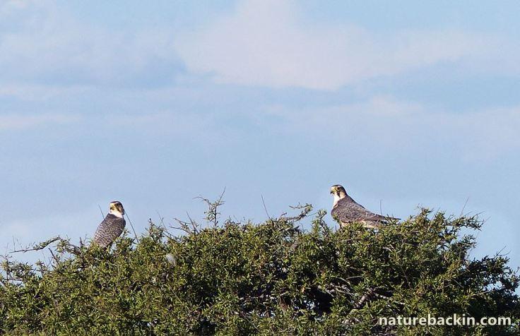 3 Lanner Falcons CKGT