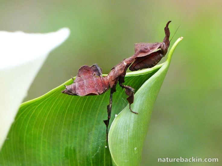 5 Praying Mantis