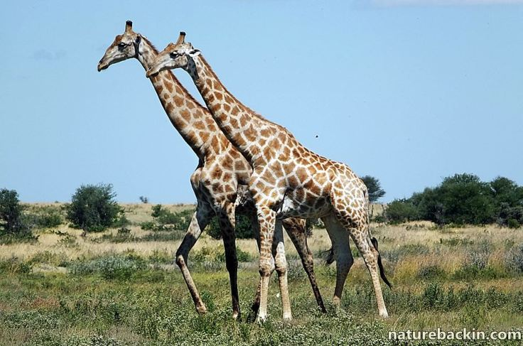 6 Giraffe CKGR