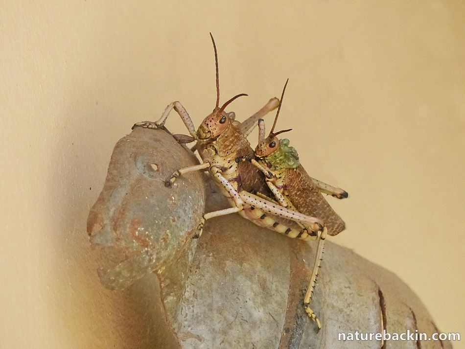 Locusts in garden