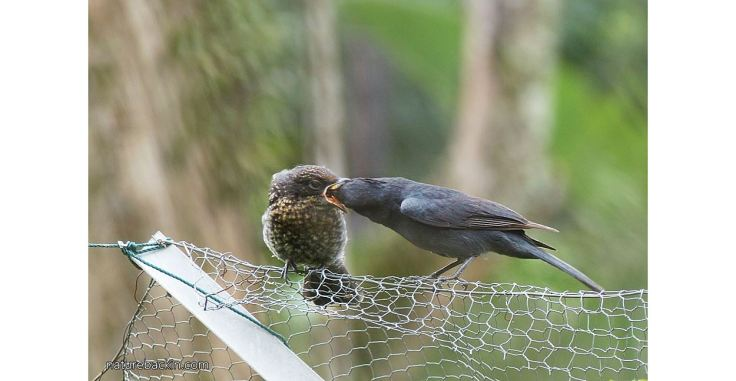 Flycatcher, southern black and fledgling 8