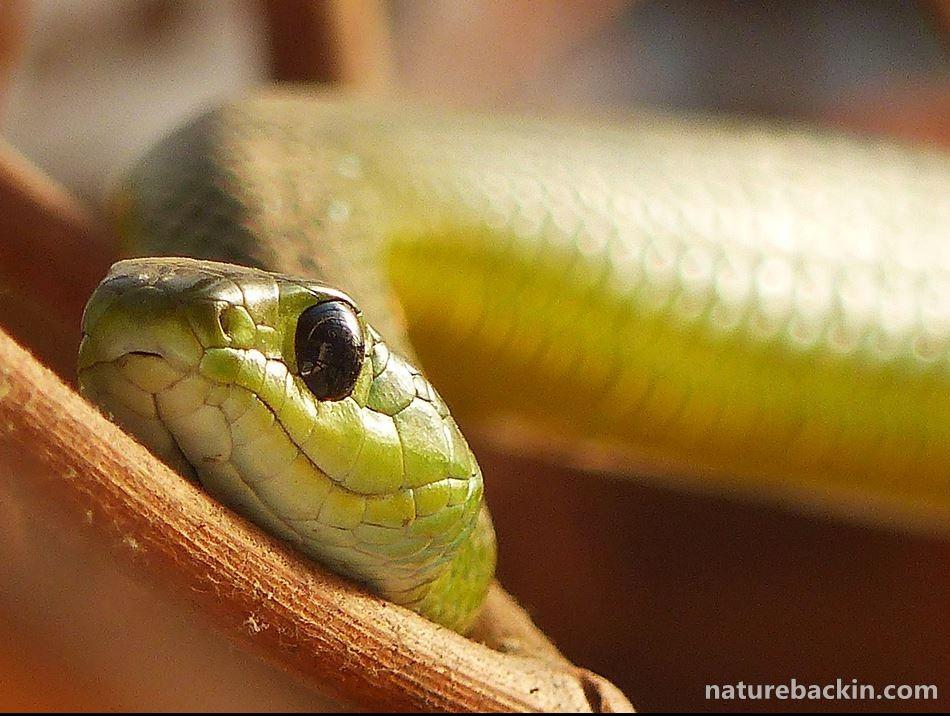 Eastern Green Snake in KwaZulu-Natal garden