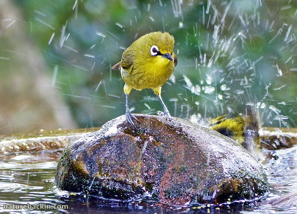 Cape White-eye at bird bath in a wildlife-friendly garden in KwaZulu-Natal