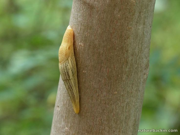 12 African banana slug