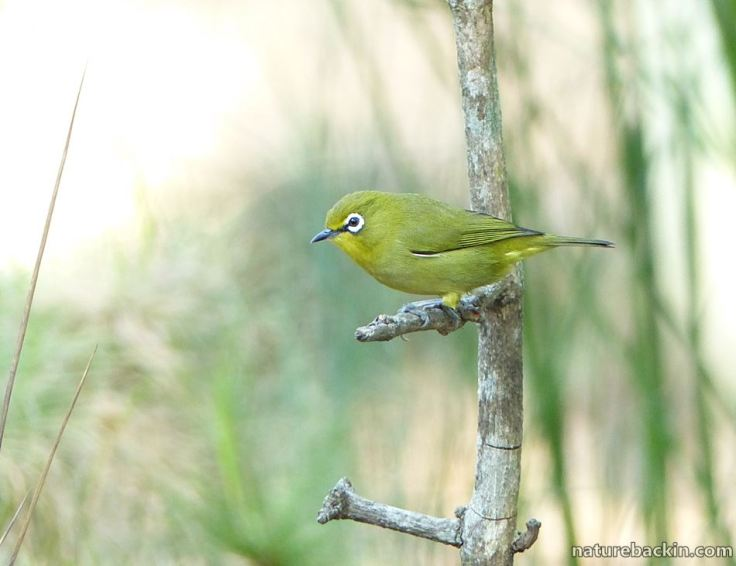 13 Cape White-eye