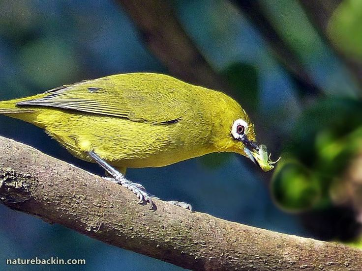 2 Cape White-eye