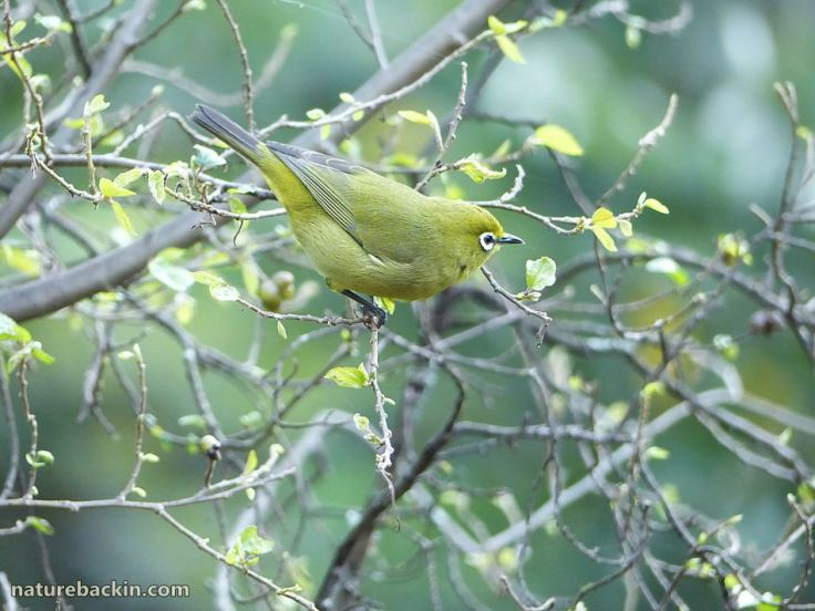4 Cape White-eye