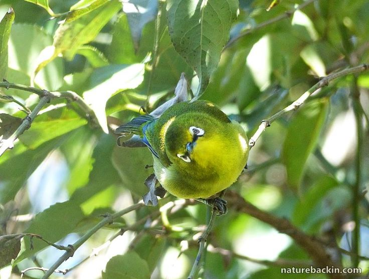 5 Cape White-eye