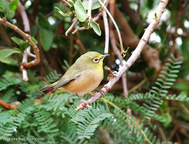 6 Cape White-eye