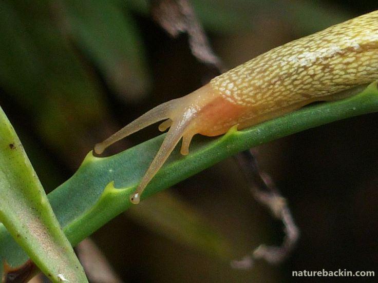 7 African banana slug