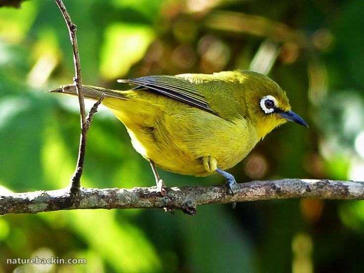 7 Cape White-eye