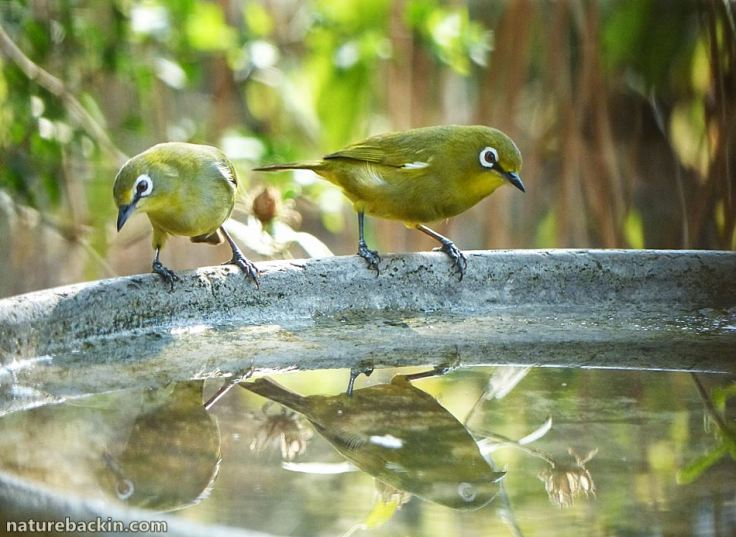 8 Cape White-eye