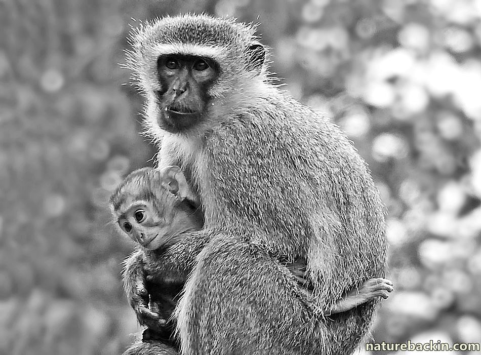 Vervet Monkey mother cuddling her baby in a garden in KwaZulu-Natal