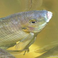 The tale of our Banded Tilapia: Freshwater fish in our garden pond