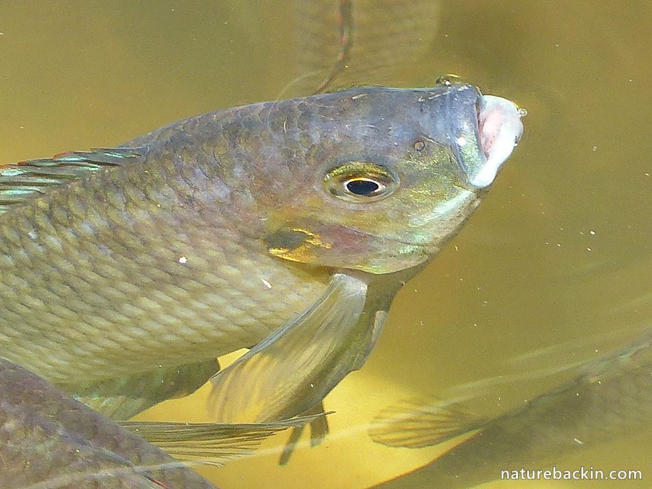Banded Tilapia surfacing in a garden pond in KwaZulu-Natal