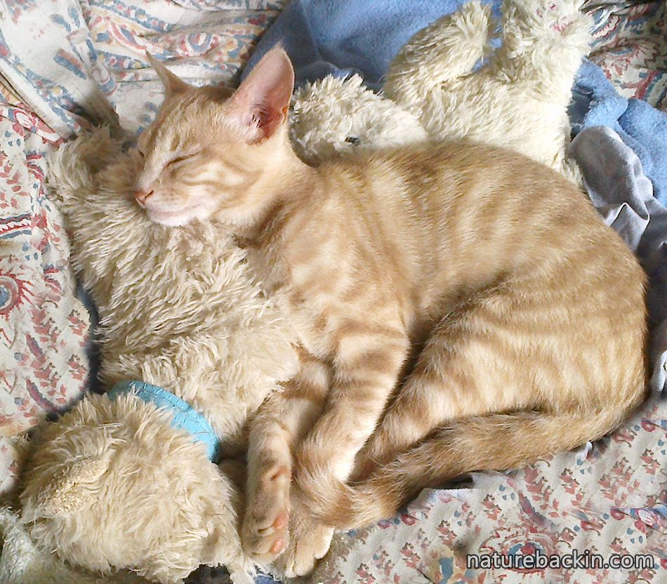 Young cat sleeping with his toy teddies