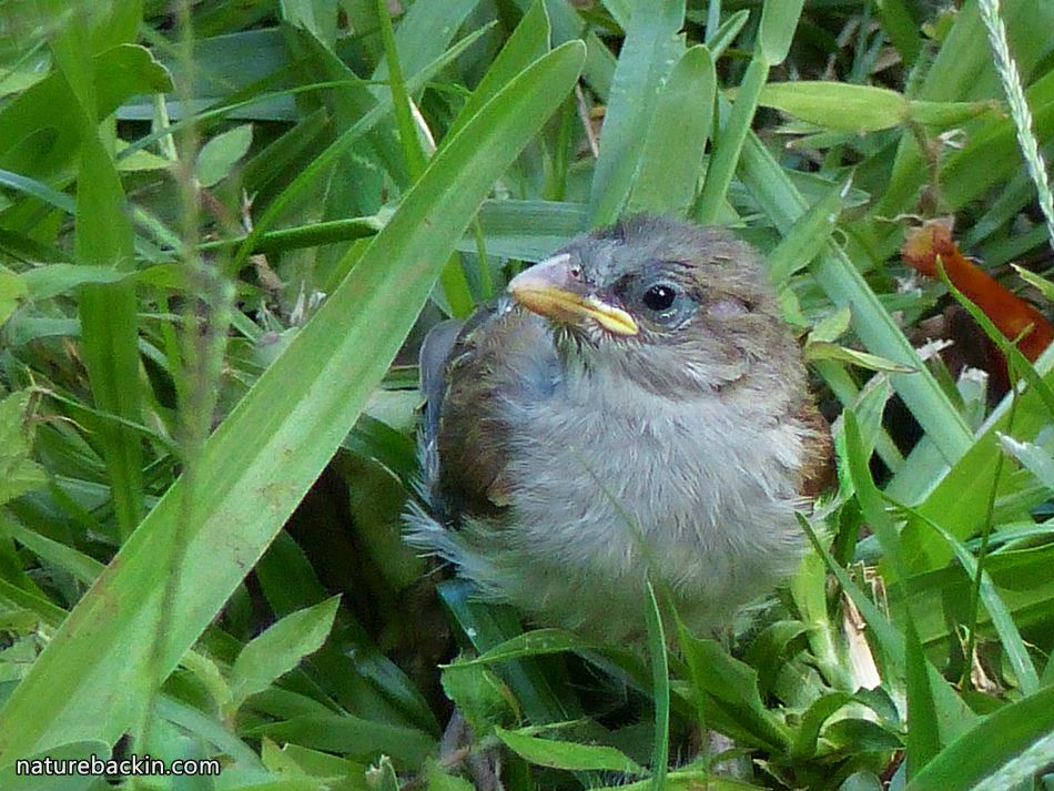 Bird parents to the rescue: The day the baby sparrow fell from the ...