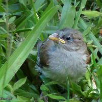 Bird parents to the rescue: The day the baby sparrow fell from the nest