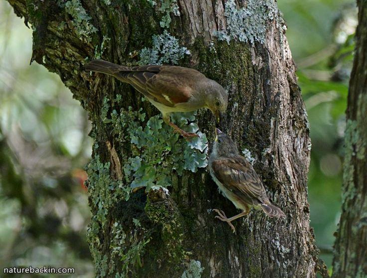 10 Greyheaded sparrows