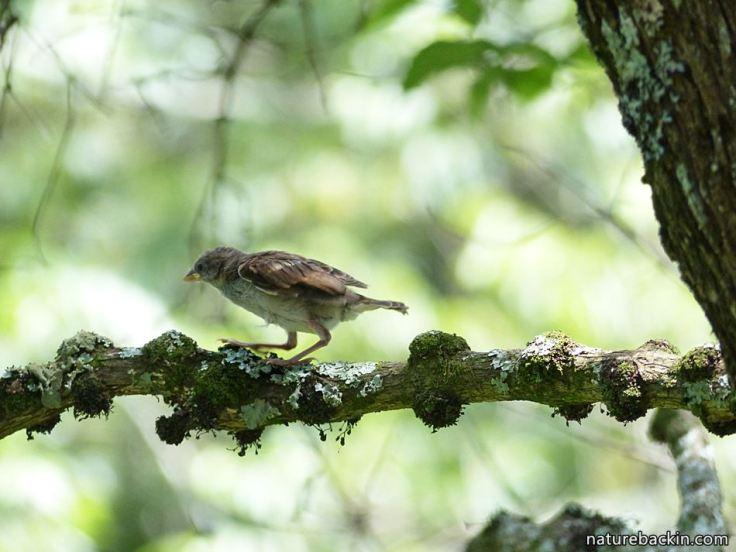 11 Greyheaded sparrows