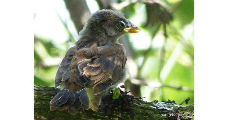 12 Greyheaded sparrows
