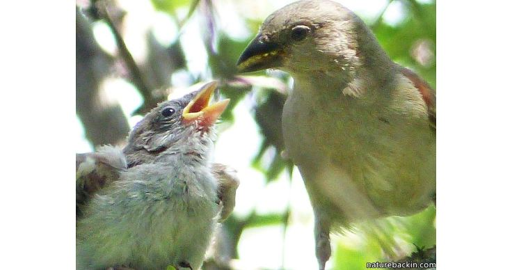 13 Greyheaded sparrows