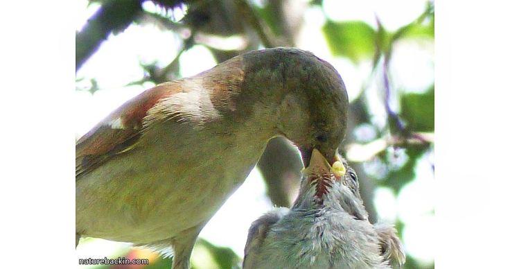 14 Greyheaded sparrows