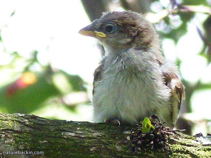 15 Greyheaded sparrows