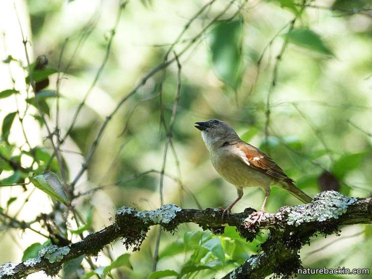 16 Greyheaded sparrows