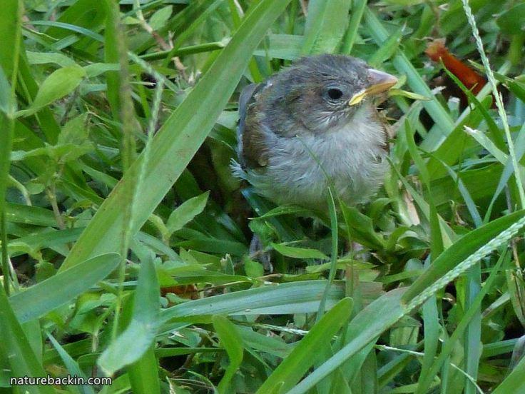 4 Greyheaded sparrows