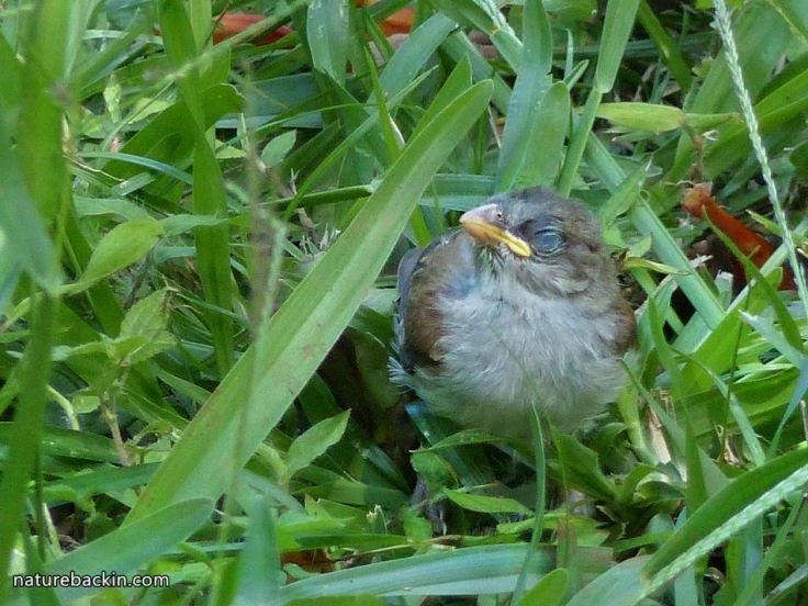 5 Greyheaded sparrows