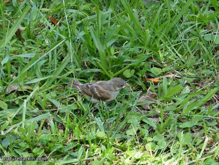 6 Greyheaded sparrows