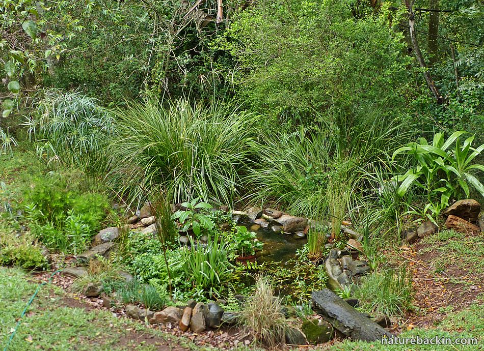 Wildlife-friendly garden pond in an indigenous garden in South Africa