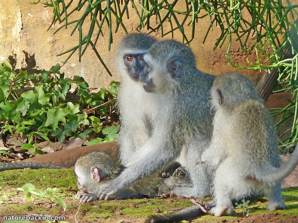 Vervet Monkey family, KwaZulu-Natal