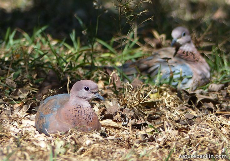 Favourite place Laughing Doves in Wildlife garden