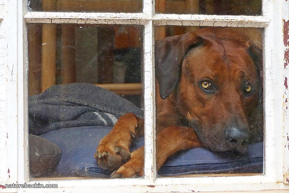 Ridgeback dog looking out through a window
