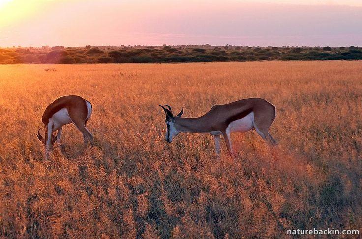 Sunset-Springbok-Kalahari