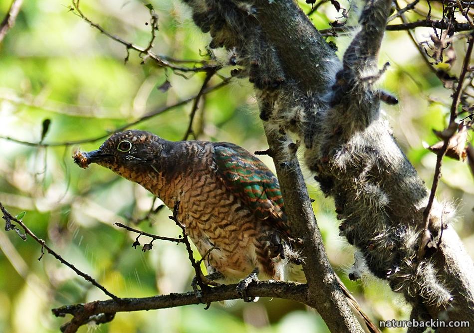 Female Emerald Cuckoo eating a Processionary Caterpillar in a garden in KwaZulu-Natal