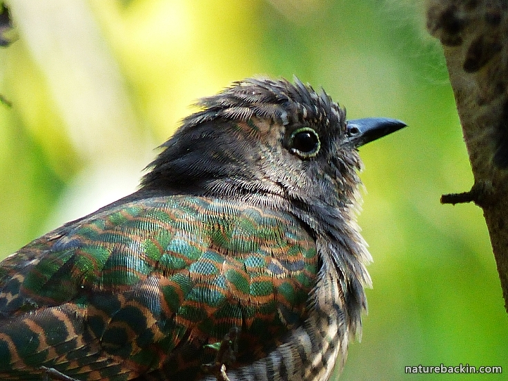 2 African Emerald Cuckoo close-up