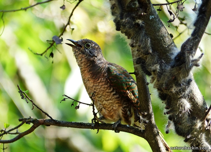 7 African Emerald Cuckoo eating caterpillars