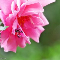 In the pink: Flower mantids in the garden