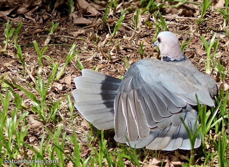 10-Redeyed-Dove-sunning