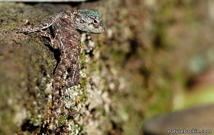 3-Agama-Lizard-juvenile