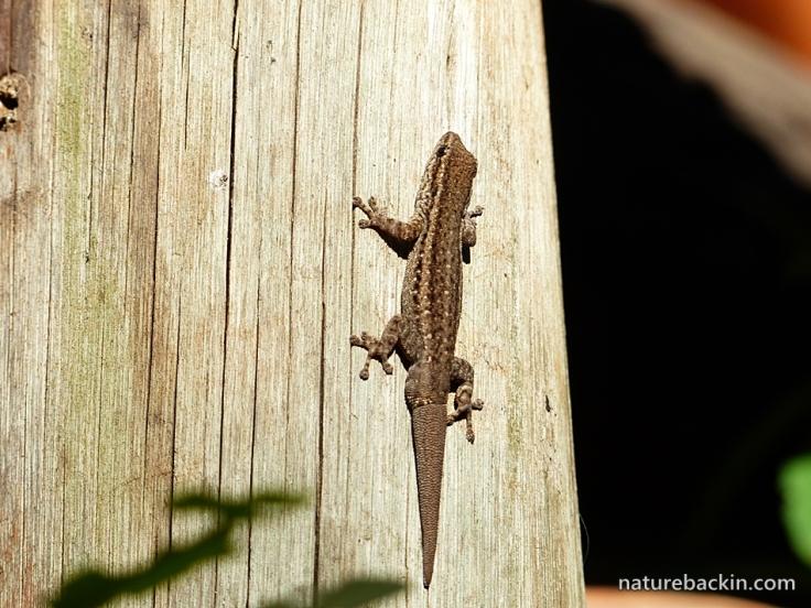 4-Cape-Dwarf-Gecko-1